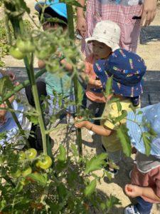 トマトの収穫🍅☆